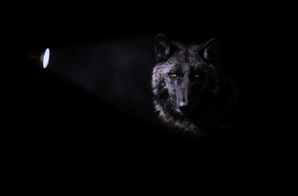 wolf on black background lightened wit a torch light from one side